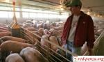 Свинарки «Пермский» готовятся кголодовке